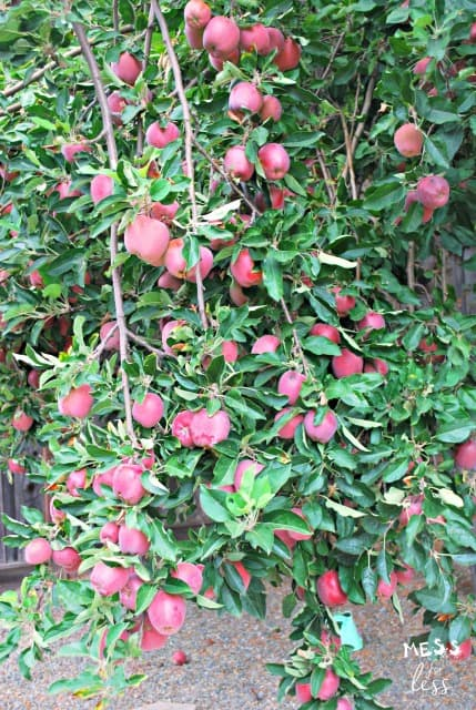 apples on an apple tree